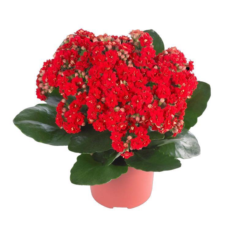 Каландива цветок
