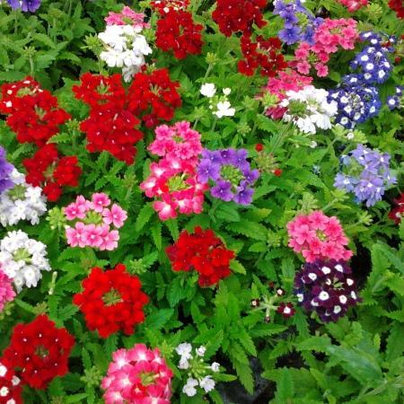 Когда сажают многолетние цветы рассадой 343